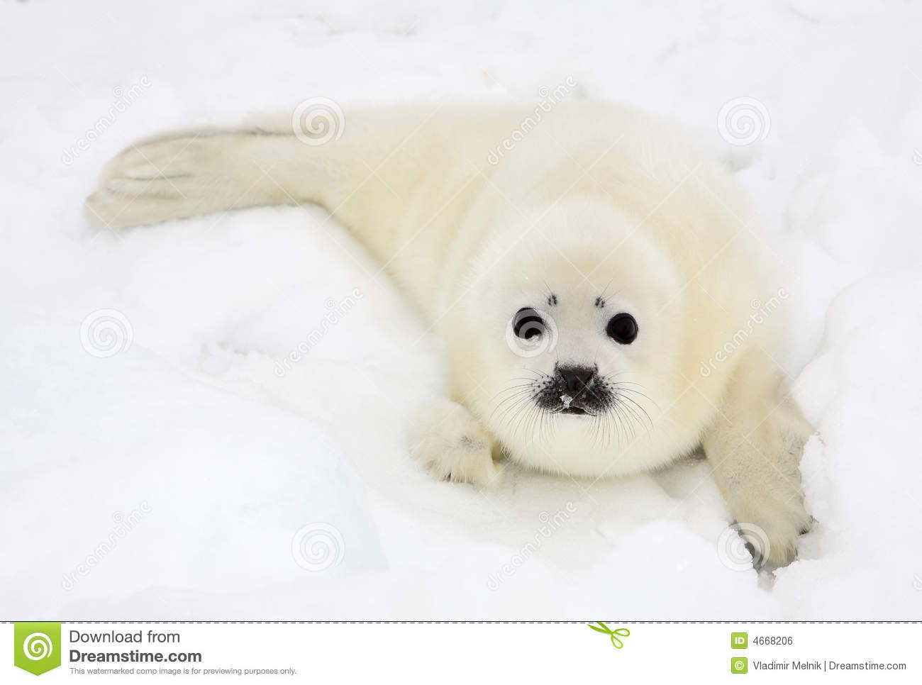 Harp Seal Clipart.