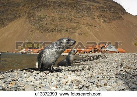 Stock Photo of Antarctic fur seal (Arctocephalus gazella) pups at.