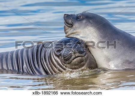 Stock Images of Recently weaned elephant seal pups Mirounga.