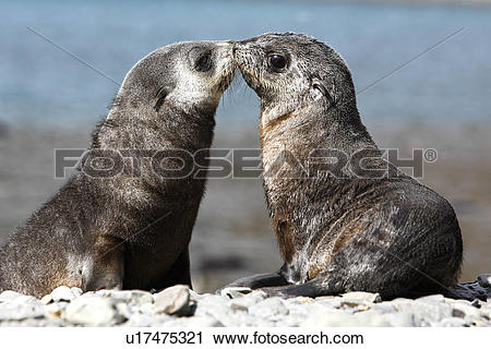 Stock Photography of Antarctic Fur Seal (Arctocephalus gazella.