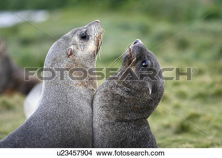 Stock Photo of Antarctic fur seal (Arctocephalus gazella) pups.