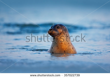 Seal Animal Stock Images, Royalty.