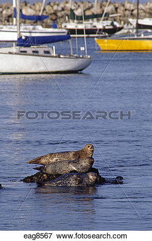 Picture of Three HARBOR SEAL sun themselves on a rock in MONTEREY.