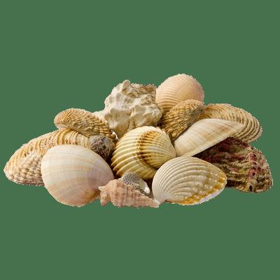 Seashells transparent PNG images.