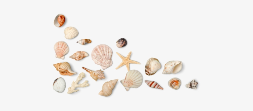 Seashell Png Photo.