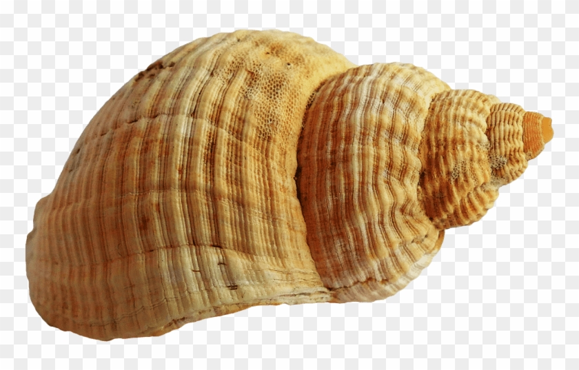Free Png Shell Png Images Transparent.
