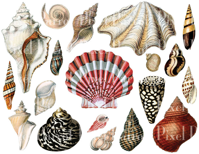 Seashells clipart - Clipground