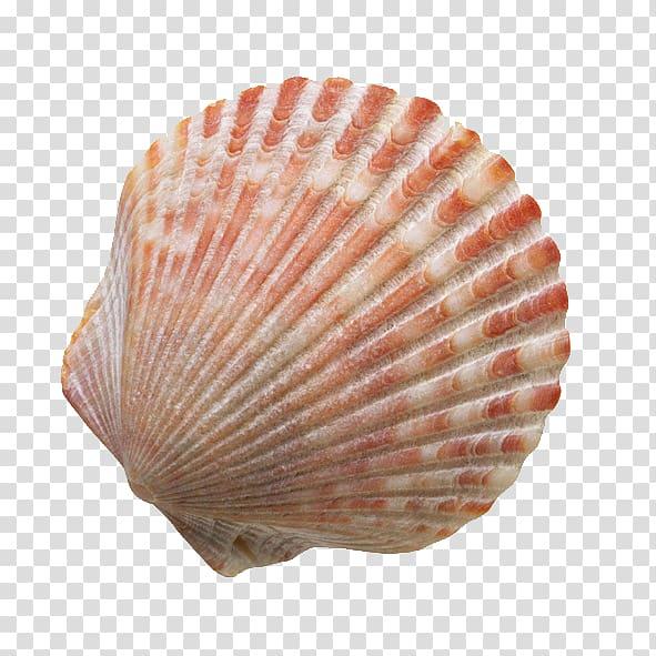 Red and white shell, Seashell Sand , Beach shells.