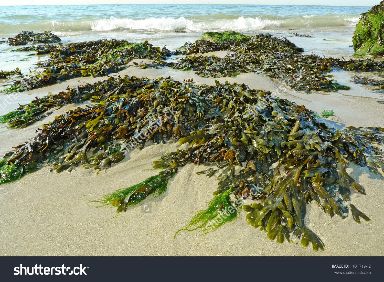 Green Seaweed On Beach Sea Stock Photo 110171942.