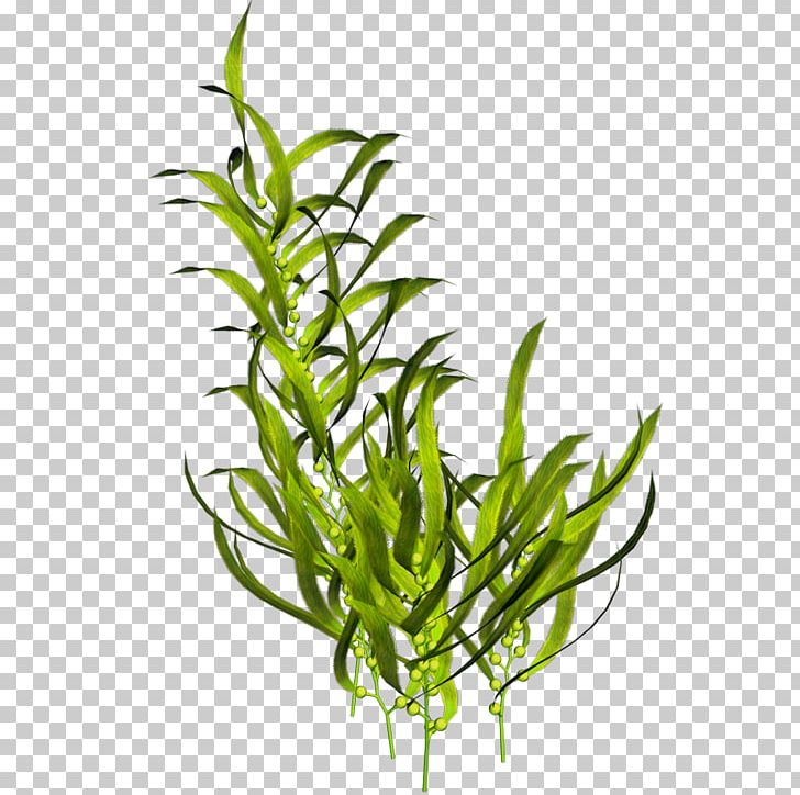 Seaweed Aquatic Plants Ocean PNG, Clipart, Algae, Aquarium.