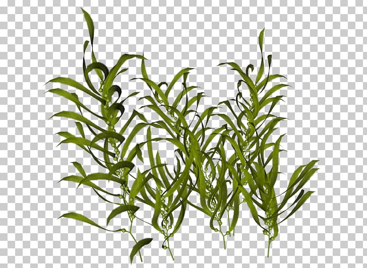 Seaweed Ocean Aquatic Plants PNG, Clipart, Animal, Aquarium.