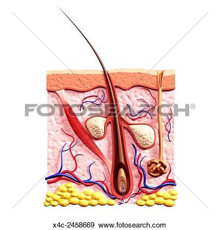 Stock Photograph of Cross section of skin showing hair follicle.
