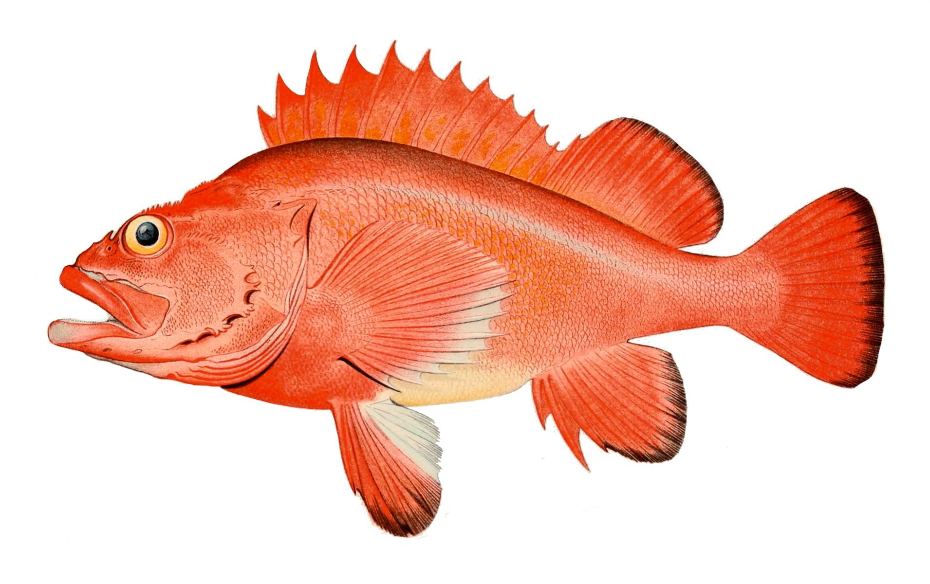 File:Red rockfish.jpg.