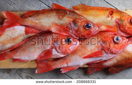 Sebastes marinus clipart #15