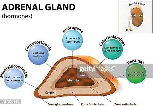 Adrenal Gland Hormone Secretion premium clipart.