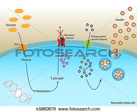 Stock Illustration of Insulin secretion k5860879.