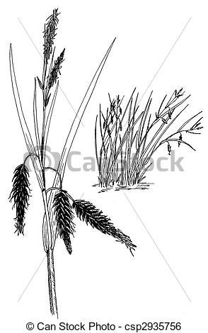 Stock Illustration of Sedge.