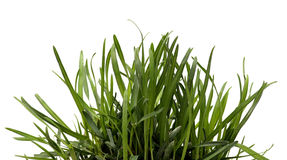 Sedge Grass Background Royalty Free Stock Images.