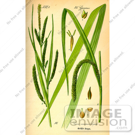 Picture of Drooping Sedges (Carex pendula).