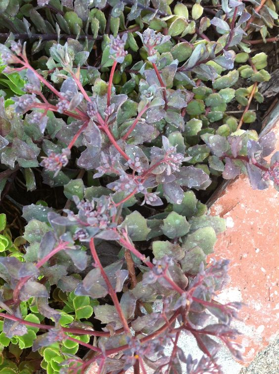 Sedum Sieboldii, this is a beautiful hardy plant that has the most.