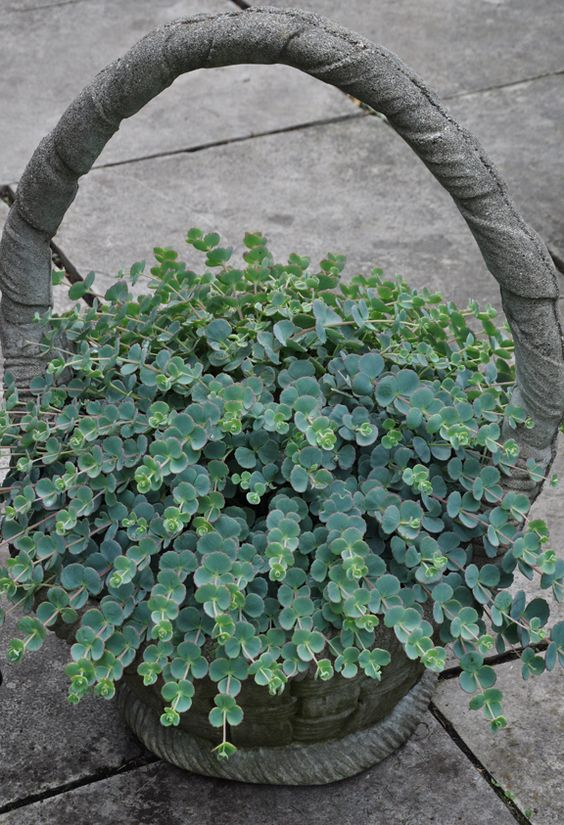 Sedum sieboldii has many different varieties available now..