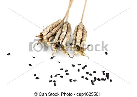 Stock Photography of Aquilegia seed capsules.