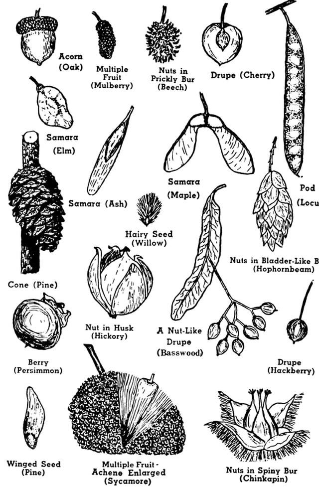 Pine tree seed clipart.