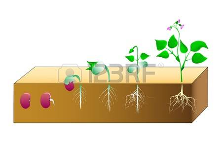 439 Germination Cliparts, Stock Vector And Royalty Free.