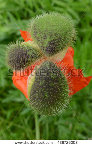 Seed Pod Split Into Three Sections As Red Poppy Flower Begins To.