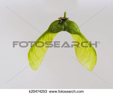 Stock Photo of The Seed Pods of a Sycamore k20474253.
