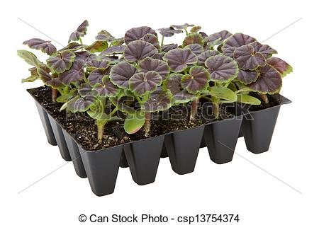 Picture of Gernaium plants in seed tray ready for potting up.