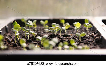 Pictures of seedlings in seed tray x75207628.