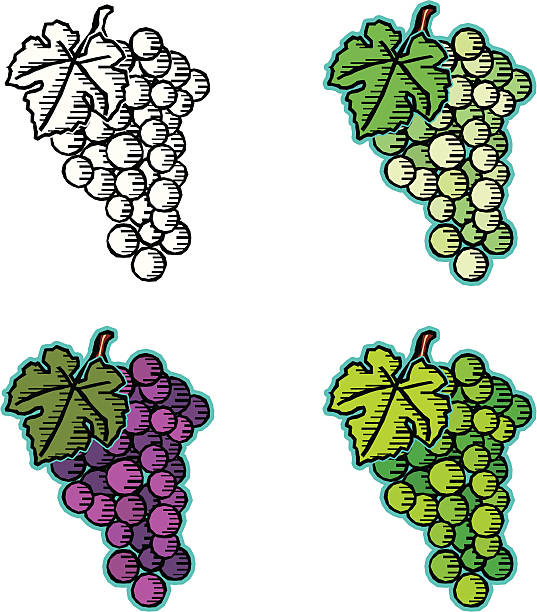 Thompson Seedless Grape Clip Art, Vector Images & Illustrations.