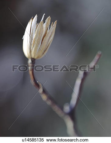 Stock Image of Empty Seed Pod on Branch u14585135.