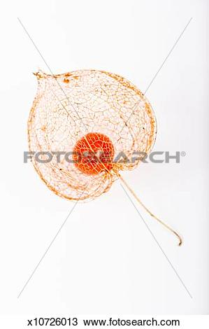 Stock Photo of Seed pod of a Chinese Lantern plant, studio shot.