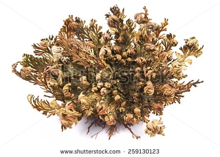 Rose Of Jericho (Selaginella Lepidophylla), Other Common Names.