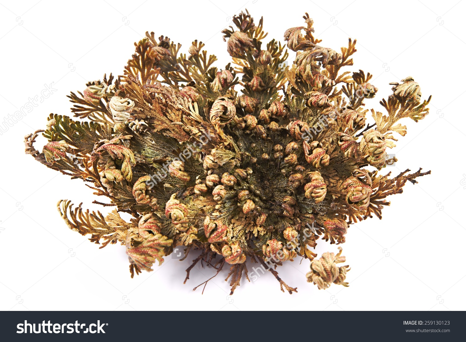 Rose Jericho Selaginella Lepidophylla Other Common Stock Photo.