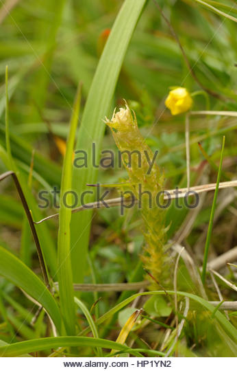 Clubmoss Stock Photos & Clubmoss Stock Images.