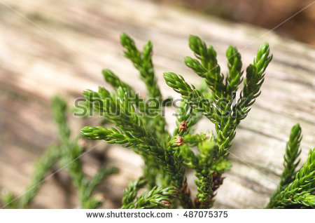 Fresh Rosemary Herb Stock Photo 441091117.