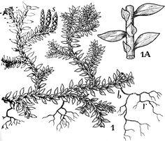 Selaginella denticulata (Lycopodiophyta, Selaginellales).JPG (1102.
