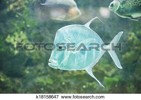 Picture of fish Silver Moonfish,Lookdowns.