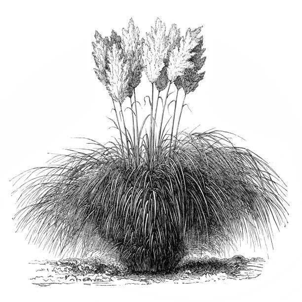 Antique Illustration Of Cortaderia Selloana (Pampas Grass) Clip.