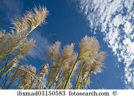 Cortaderia selloana Images and Stock Photos. 187 cortaderia.