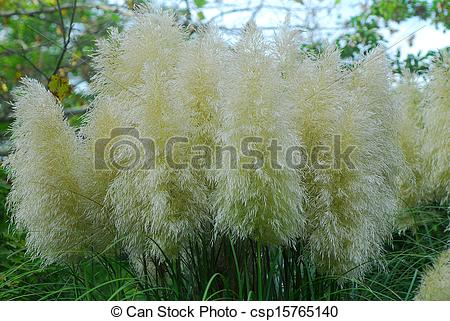 Stock Photo of Cortaderia selloana pumila pampas grass foliage.