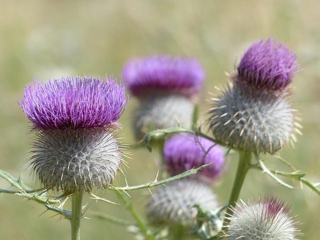 Free photo: Wool Head Creeping Thistle, Flower.