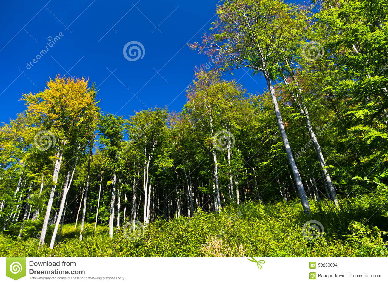 Beech Forest In Early Autumn At Semenic National Park Stock Photo.