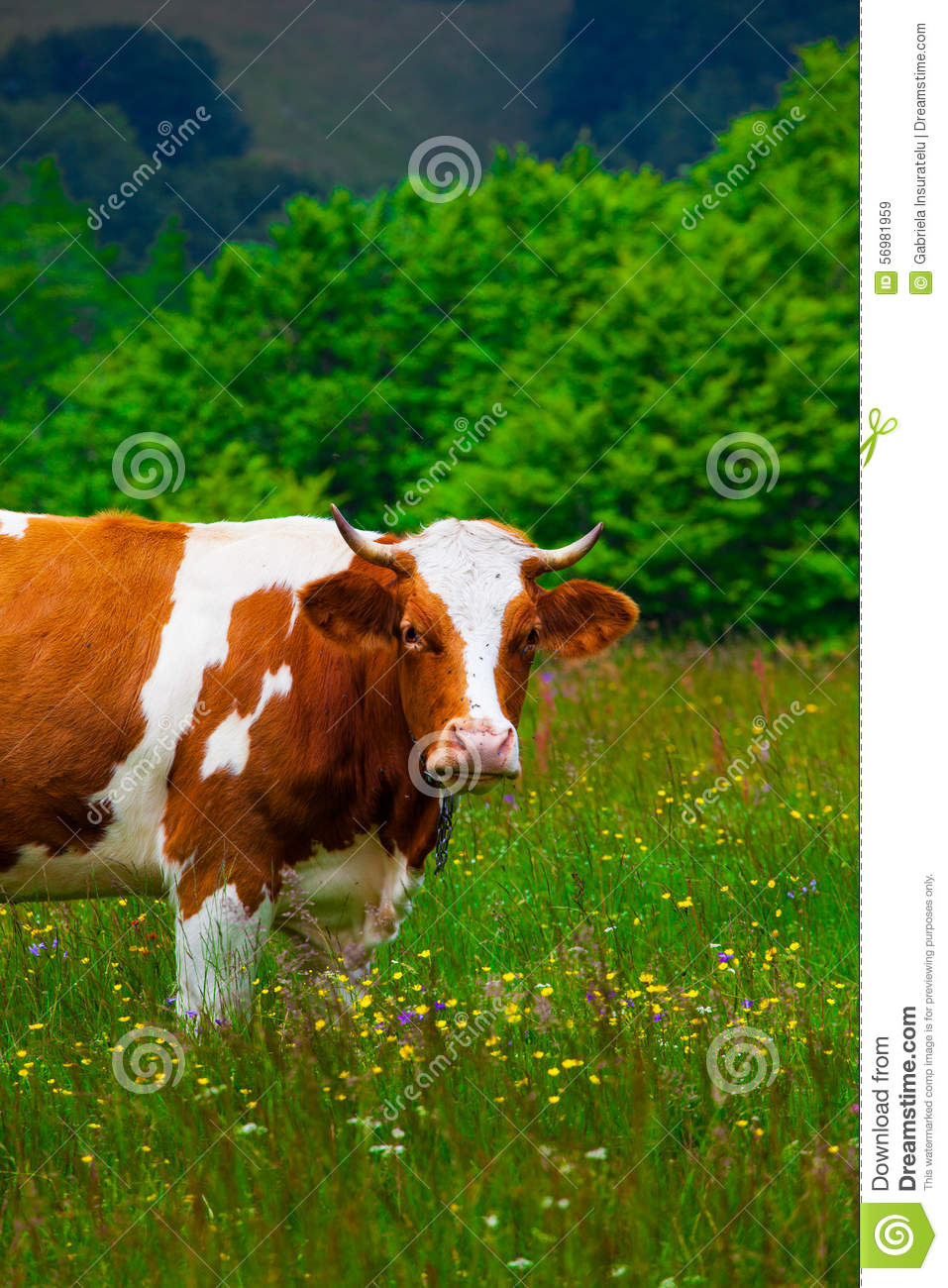 Cows Grazing In Semenic Mountains Stock Photo.