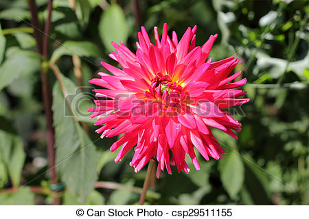 Stock Images of Semi cactus dahlias, Dahlia Alexander Voit.