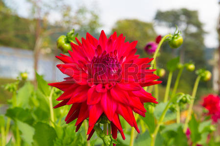 Dahlia Red Cliparts, Stock Vector And Royalty Free Dahlia Red.