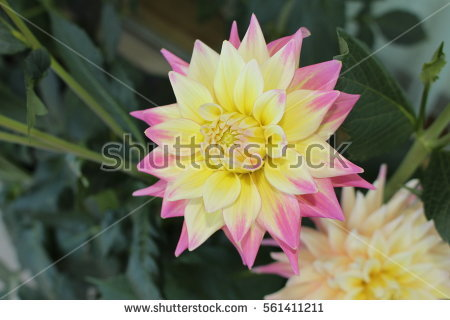 Cactus Dahlia Stock Images, Royalty.